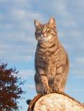 Blauwe tabby potkat op een logboek Stock Fotografie