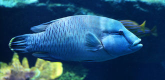 Blauwe Tandbaarsvissen Royalty-vrije Stock Fotografie