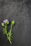 Blauwe tansy stock fotografie