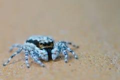 Blauwe tarantula Stock Fotografie