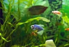 Blauwe ternetzi van Glofish Gymnocorymbus in aquarium stock foto's