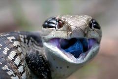 Blauwe Tongued Skink Stock Foto's