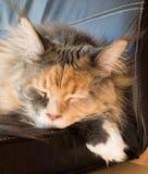 Blauwe Tortie-Gestreepte kat met Witte Maine Coon Cat Sleeping op Stoel Stock Foto