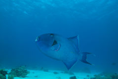 Blauwe triggerfish (pseudobalistes fuscus) Stock Afbeeldingen