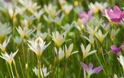 Blauwe tropische bloem Royalty-vrije Stock Fotografie