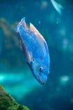 Blauwe tropische vissen Royalty-vrije Stock Foto's