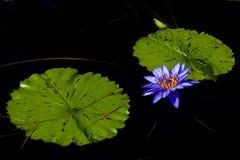 Blauwe Tropische Waterlelie Royalty-vrije Stock Fotografie