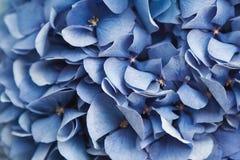 Blauwe van de hydrangea hortensiaflora closep hoogste mening als achtergrond royalty-vrije stock fotografie