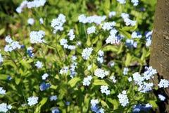 Blauwe vergeet-mij-nietjebloemen Royalty-vrije Stock Fotografie