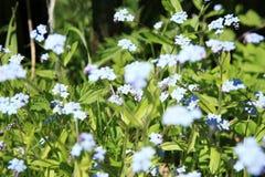 Blauwe vergeet-mij-nietjebloemen Royalty-vrije Stock Afbeeldingen
