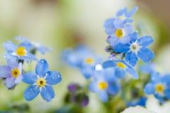Blauwe vergeet-mij-nietjes Stock Foto's