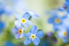 Blauwe vergeet-mij-nietjes Stock Afbeelding