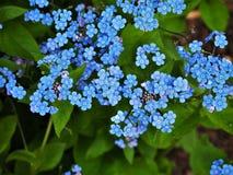 Blauwe vergeten-me-knoopbloemen in de lente stock foto's
