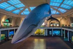 Blauwe vinvis bij Oceaanzaal van het Amerikaanse museum van Biologie AMNH - New York, de V.S. stock foto