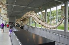 Blauwe vinvisskelet in museum Stock Foto