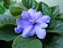 Blauwe violette bloem Royalty-vrije Stock Afbeeldingen