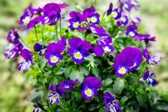 Blauwe violette bloemenviooltjes op een groene achtergrond De lentebloemen in woods_ royalty-vrije stock afbeeldingen