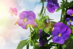 Blauwe viooltjebloemen tegen een lichte achtergrond Royalty-vrije Stock Afbeeldingen