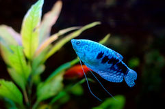 Blauwe vissen stock foto's
