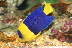 Blauwe vissen royalty-vrije stock afbeeldingen