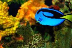 Blauwe vissen Royalty-vrije Stock Foto