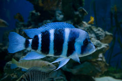 Blauwe vissen Stock Fotografie