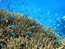 Blauwe vissen die over koraal zwemmen Royalty-vrije Stock Foto