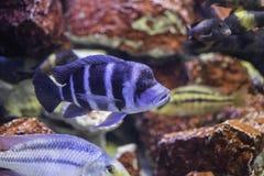 Blauwe Vissen in een Aquarium Stock Foto