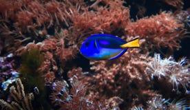 Blauwe vissen en anemoon Stock Foto's