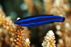 Blauwe vissen, Larabicus-quadrilineatus Royalty-vrije Stock Afbeeldingen
