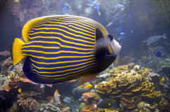 Blauwe Vissen met Gouden Strepen Stock Foto's
