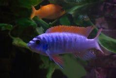 Blauwe vissen rode vinnen Stock Foto's