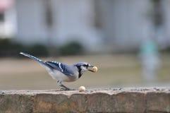 Blauwe Vlaamse gaai Stock Fotografie