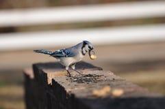 Blauwe Vlaamse gaai Stock Foto
