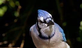 Blauwe Vlaamse gaai Royalty-vrije Stock Afbeeldingen