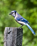 Blauwe Vlaamse gaai Stock Afbeeldingen