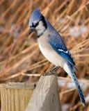 Blauwe Vlaamse gaai Royalty-vrije Stock Foto