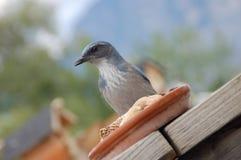 Blauwe Vlaamse gaai bij voeder Royalty-vrije Stock Foto's