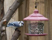 Blauwe Vlaamse gaai bij vogelvoeder stock foto's