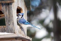 Blauwe Vlaamse gaai bij vogelvoeder Stock Foto