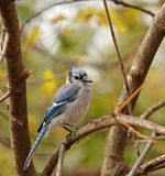 Blauwe Vlaamse gaai, cristata Cyanocitta Royalty-vrije Stock Afbeeldingen