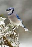 Blauwe Vlaamse gaai (cristata Cyanocitta) Royalty-vrije Stock Foto's