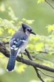 Blauwe Vlaamse gaai (Cyanocitta cristatabromia) Stock Foto