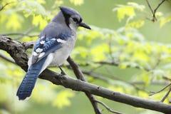 Blauwe Vlaamse gaai (Cyanocitta cristatabromia) Stock Fotografie