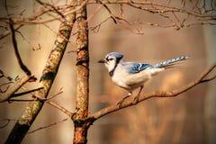 Blauwe Vlaamse gaai die in de zon zonnebaadt Stock Fotografie
