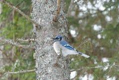 Blauwe Vlaamse gaai die op een boomtak wordt neergestreken stock foto