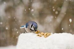Blauwe Vlaamse gaai die Pinda's in Sneeuwstorm eet Stock Afbeelding