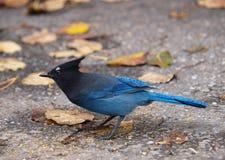 Blauwe Vlaamse gaai en bladeren stock foto's