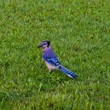 Blauwe Vlaamse gaai in gras royalty-vrije stock afbeeldingen
