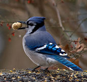 Blauwe Vlaamse gaai met Pinda Stock Foto's